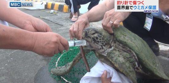 """喜界島で保護、""""釣り針""""が引っかかったウミガメ。"""