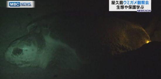 屋久島はウミガメの産卵シーズン!観察会スタート