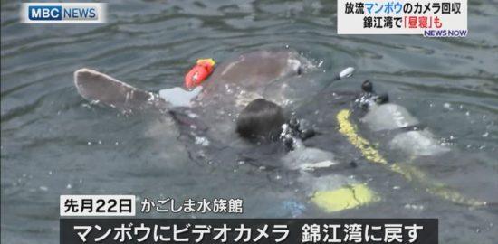 錦江湾で「昼寝」も!放流マンボウのカメラを回収