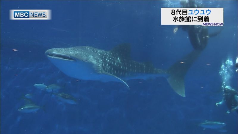 ジンベエザメ・8代目ユウユウ鹿児島水族館に到着