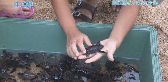 鹿児島に上陸する2種類のウミガメ。「アオウミガメ」と「アカウミガメ」