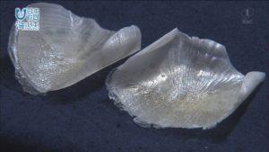 甑島の海の恵みを活用したアクセサリー!毒のあるアオブダイが大変身!