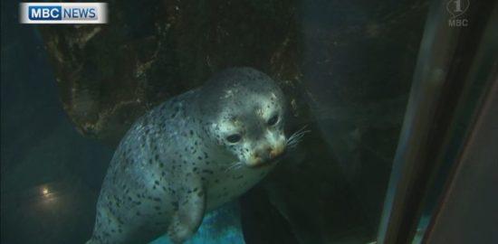 名前募集中♪かごしま水族館ゴマフアザラシの赤ちゃん一般公開始まる