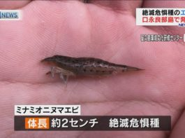 絶滅危惧種の「ミナミオニヌマエビ」口永良部島で新たに発見!