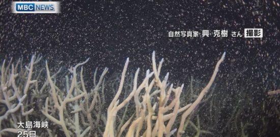 【MBCニュース】大島海峡でサンゴの産卵始まる