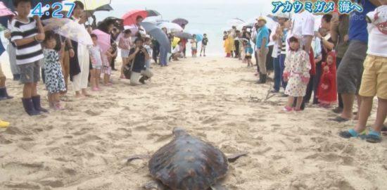 【かごしま4】アカウミガメ、海へ。奄美市