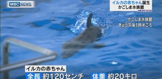 かごしま水族館でイルカの赤ちゃん誕生