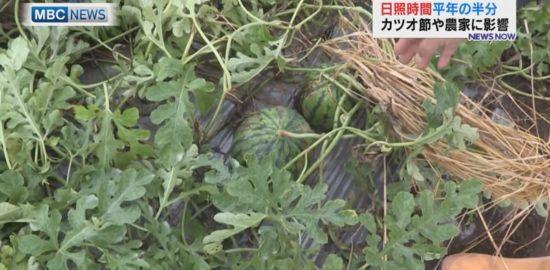 """枕崎市、日照不足""""カツオ節""""にも影響"""