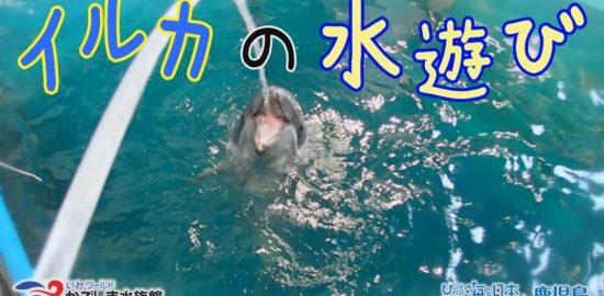 【おうちで水族館】『イルカの水遊び』いおワールド かごしま水族館×海と日本PROJECT in 鹿児島