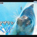 【おうちで水族館】『ゴマフアザラシの「マスオ」』いおワールド かごしま水族館×海と日本PROJECT in 鹿児島