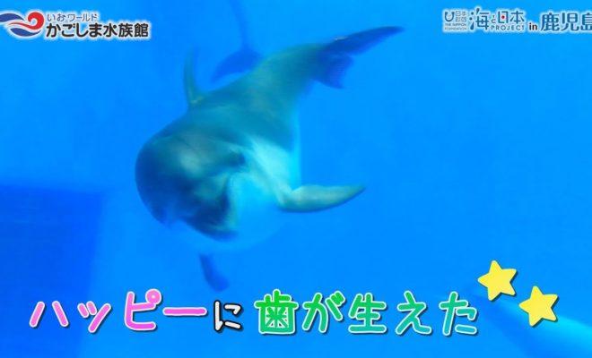 【おうちで水族館】『ハッピーの成長記録 歯がはえた!』いおワールド かごしま水族館×海と日本PROJECT in 鹿児島
