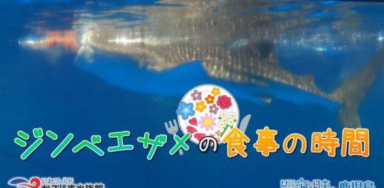 【おうちで水族館】『ジンベエザメの食事』いおワールド かごしま水族館×海と日本PROJECT in 鹿児島